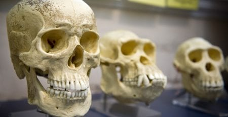 Skull display of human and other primates.